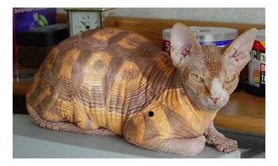 chat-tortue