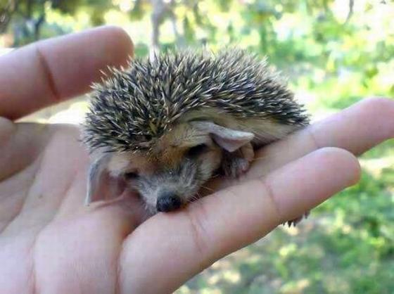 hedgehog_with_big_ears_1