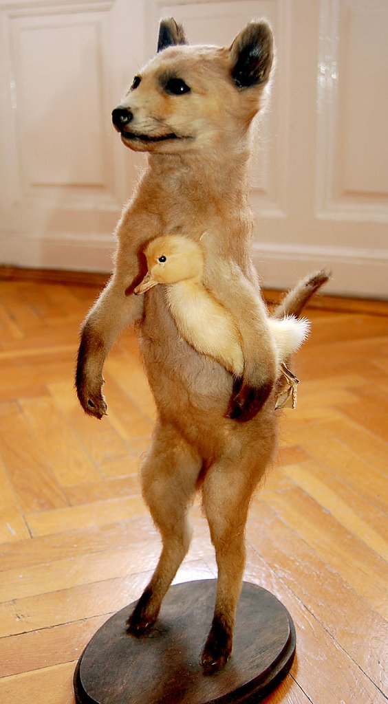 taxidermie-renard